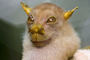 tube-nosed-fruit-bat