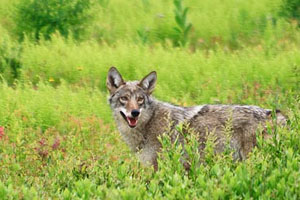 coyote-wolf