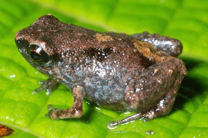 smallest-frogs
