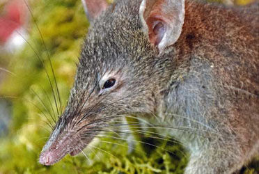 New Rat Species