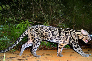 clouded-leopards