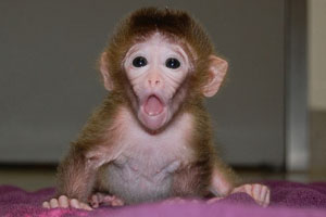 mixed-embryo-monkeys