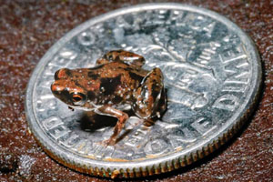 smallest-frog