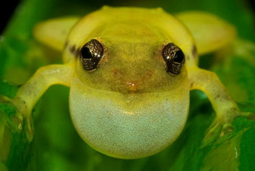 36-frogs