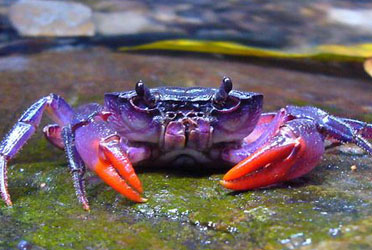 purple-crab