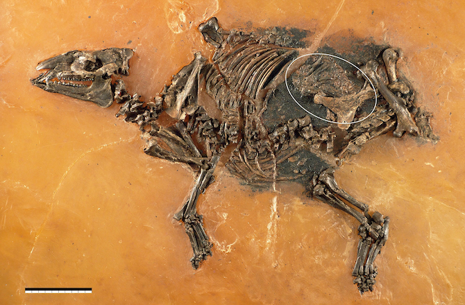 48-Million-Year-Old-Pregnant-Horse